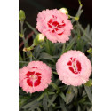 Oeillet - Dianthus Scent First® 'Rasberry Sundae'