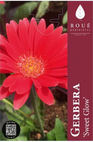 Gerbera garvinea® Sweet Glow