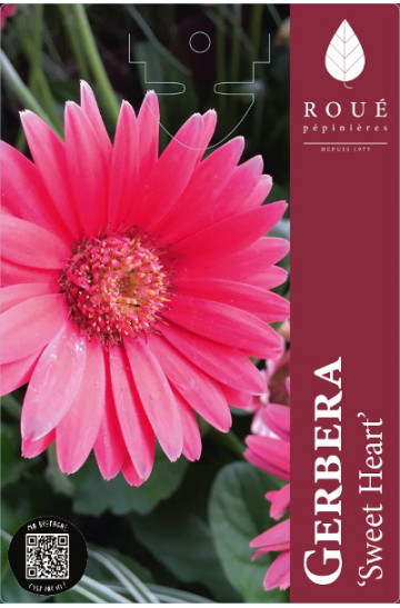 Gerbera garvinea® Sweet Heart