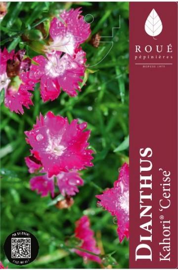 Dianthus Kahori® Cerise