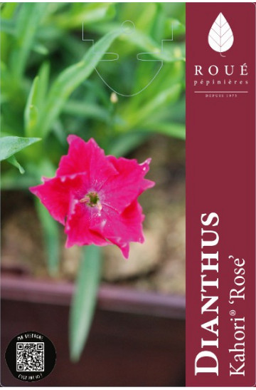 Dianthus Kahori® Rose - Oeillet