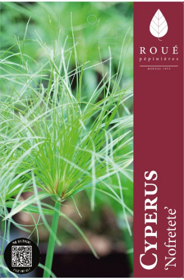 cyperus-papyrus-nofretete-rouepepinieres-3litres