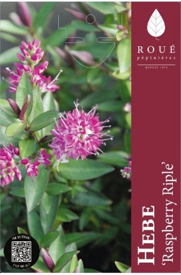 Hebe Raspberry Riple