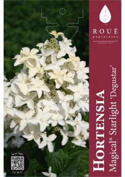 Hortensia paniculata 'Magical® Starlight'