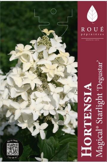 Hortensia paniculata 'Magical® Starlight'
