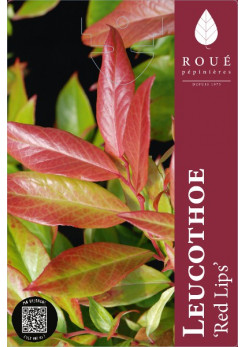 Leucothoe 'Red Lips'