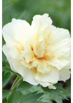 Paeonia - Pivoine 'Canary Brilliants'