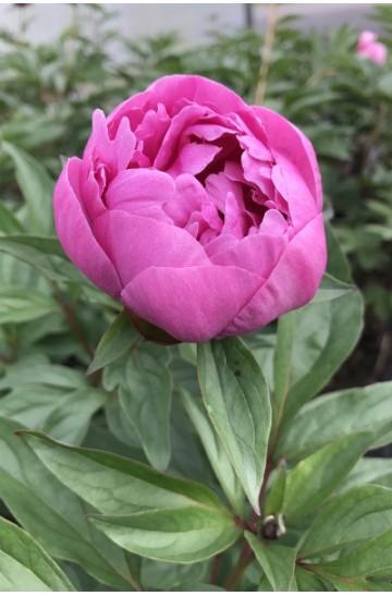 Paeonia - Pivoine 'Margaret Truman'