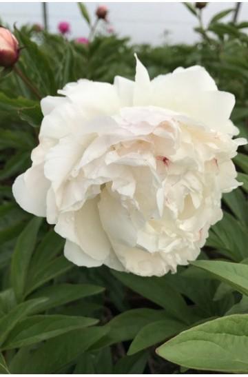 Paeonia - Pivoine 'Shirley Temple'