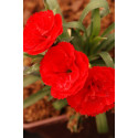 Oeillet - Dianthus Super Trouper® 'Carmen Red'