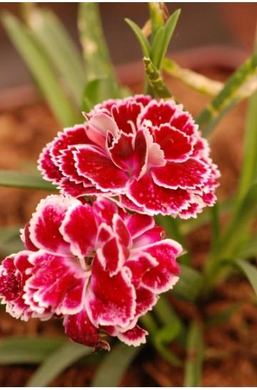 Oeillet - Dianthus Super Trouper® 'Sophie'