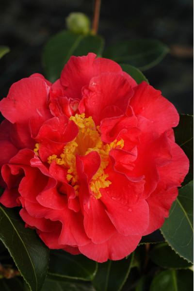 Pivoine - Paeonia 'Krinkled White''
