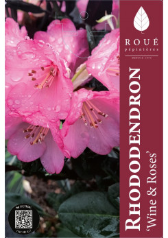 Rhododendron 'Wine & Roses'