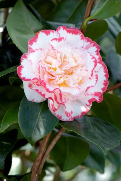 Leptospermum 'Wiri Kerry'