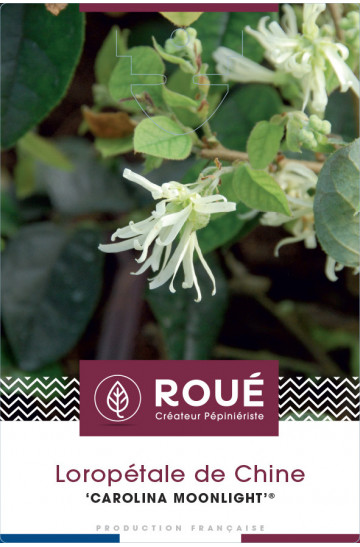 Loropetalum 'Carolina Moonlight®'