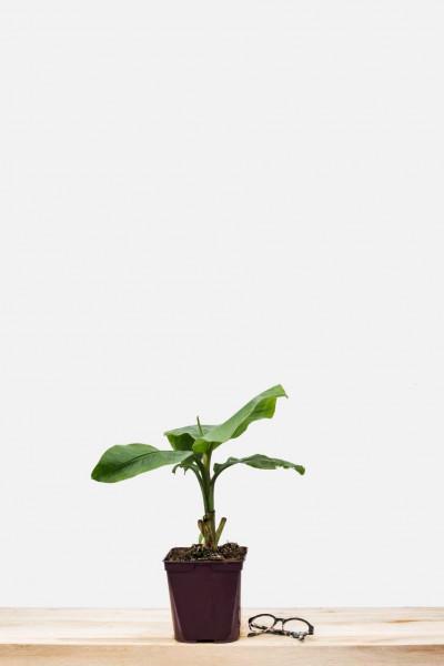 Rhododendron 'Kalinka '