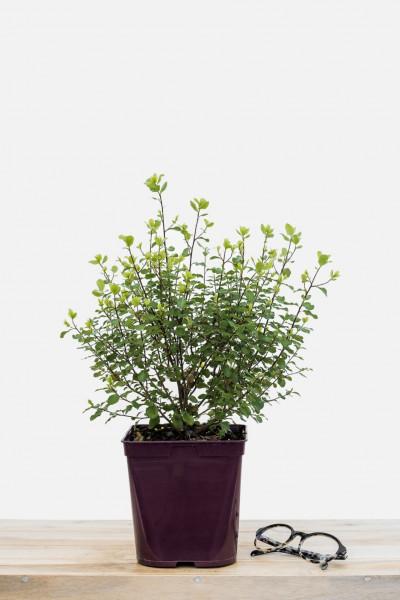 Rhododendron 'Cosmopolitain'