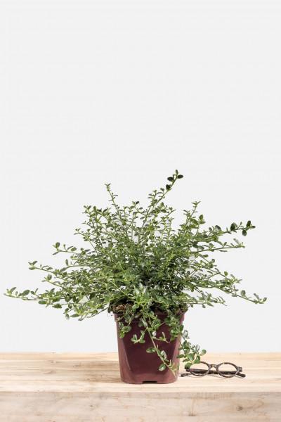 Erable Acer Palmatum Seiryu Toutes Nos Plantes Roue Pépinières