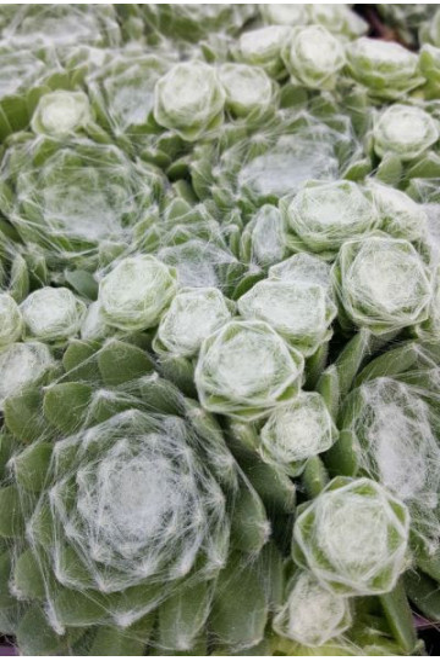 Sempervivum 'White'