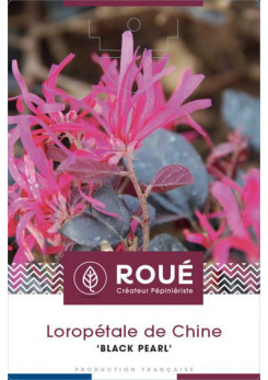 Loropetalum 'Black Pearl'