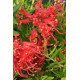 Grevillea 'New Blood'