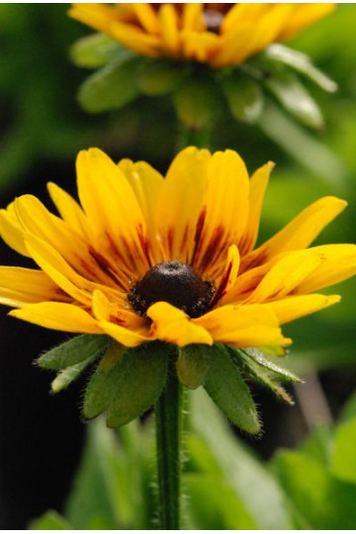 Rudbeckia 'Sunny Smiley'