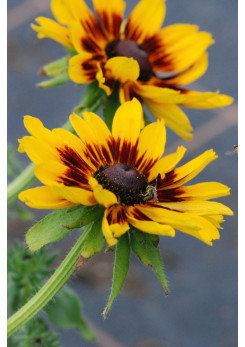 Rudbeckia 'Sweety Smiley'