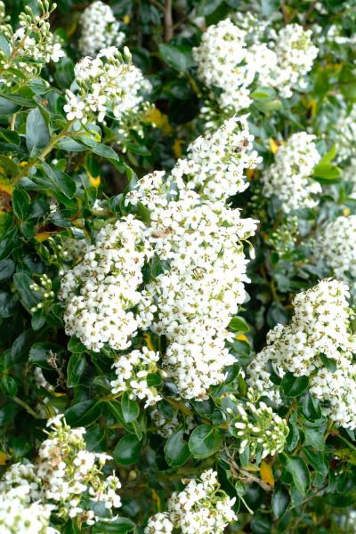 Hortensia paniculata Pastelgreen®