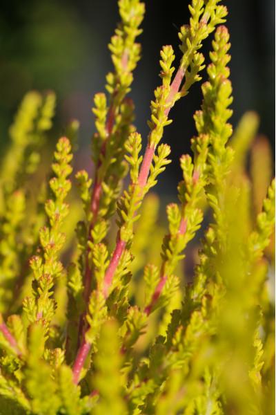 Hortensia arborescens 'Annabelle'