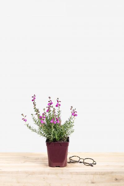 Rhododendron 'Blue Diamond'