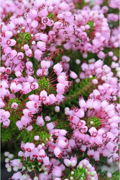 phlomis-purpurea-3-litres-rouepepinieres