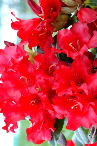 Daphné 'Eternal Fragrance'