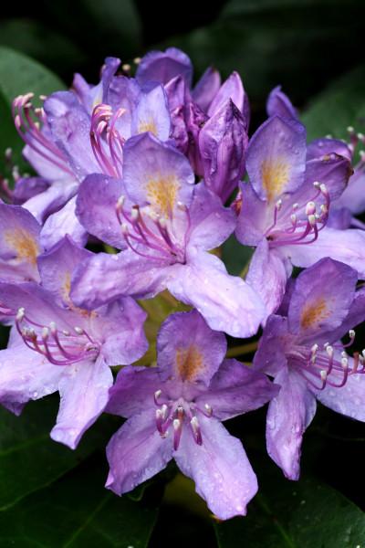Trachelospermum jasminoides - Jasmin étoilé - Faux jasmin pot de 3 litres