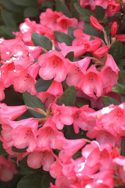 Hortensia paniculata 'Diamant Rouge®'
