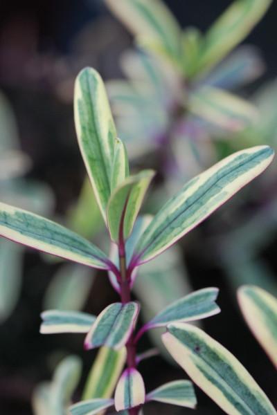 Erable - Acer palmatum 'Butterfly'