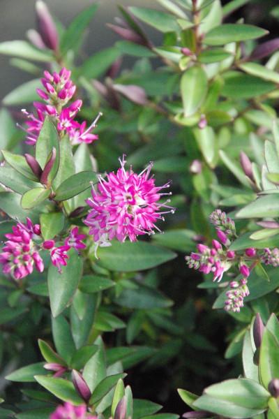 Agapanthe 'Poppin Purple'