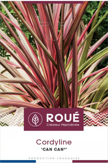 Cordyline 'Can can'