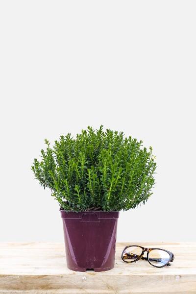 Oeillet - Dianthus Kahori® Scarlet