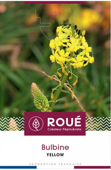 Bulbine 'Yellow'