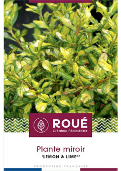 Coprosma 'Lemon Lime'