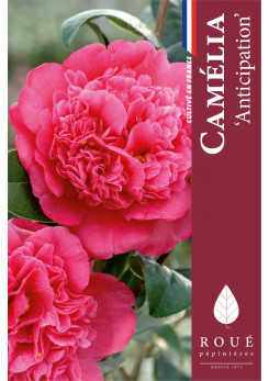 Camelia 'Anticipation'