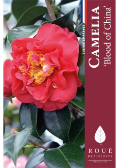Camelia 'Blood of China'