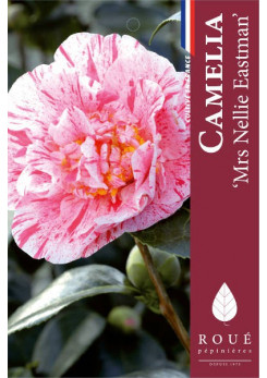 Camelia 'Mrs Nellie Eastman'