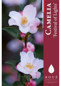 Camelia 'Festival of Light '