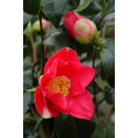Camelia 'Spring Promise '